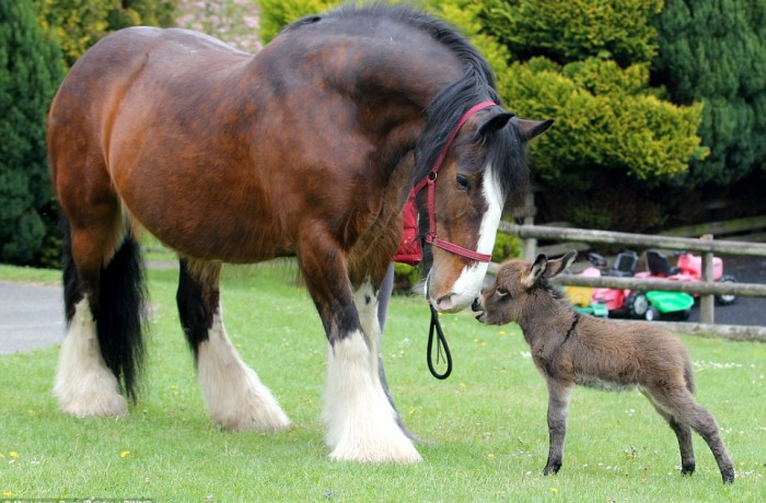 Shire Horse meet and talk