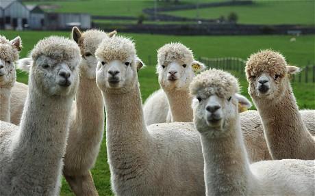 Meet the Alpacas