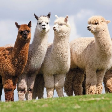 NEW – Alpaca Walk