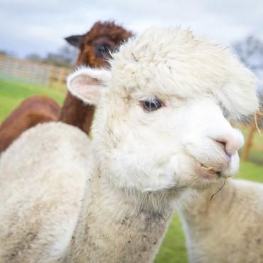 Alpaca Walk & Farm Visit