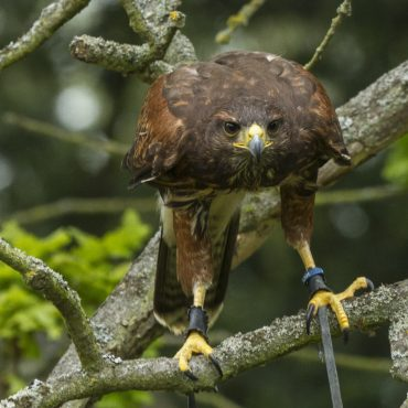 2 Day Bird of Prey Management & Training Course – September 9th & 10th