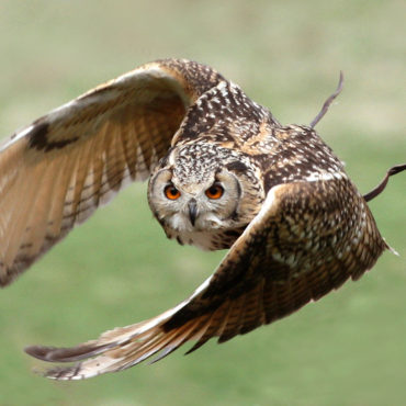 Fight with Flight – Evening with Owls June 10th 6.00pm – 9.00pm
